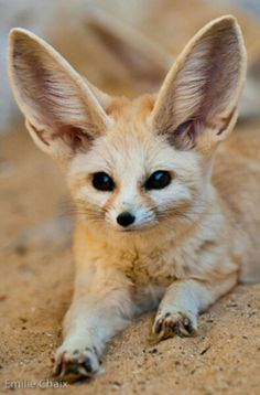 Cute!Desert fox^^