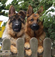 Two German Shepherds waiting for the mailman.