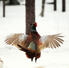 """©asennanko: """"Fasaani soitimella ja tämä lintu EI ole etelän kesy sellainen"""" #pientalojapiha"""