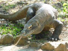 Il Varano o Drago di #Komodo in Indonesia. Informazioni, curiosità e descrizione sui Draghi di #Komodo uno degli ultimi discendenti dei #Dinosauri.