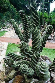 Cereus spiralis
