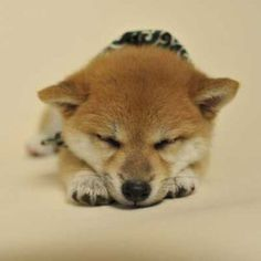 Understanding your Puppy - Tips On Getting To Know What They Need Puppies Tips, Cute Puppies, Sleepy Animals, Shiba Inu, Japanese Culture, Puppy Love, Corgi, Cute Animals, Kawaii