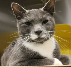 ADOPTED>Intake: 11/13 Available: Now  NAME: Misty  ANIMAL ID: 30176766 BREED: DSH  SEX: Female  EST. AGE: 2 yrs  Est Weight: 7.2 lbs  Health: Combo negative  Temperament: Friendly  ADDITIONAL INFO: O/S  RESCUE PULL FEE: SPONSORED!!