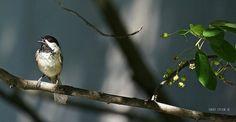 Chickadee Singing by Harry Lipson, via Flickr.  Visit harryShots.com for more