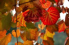 Bright colour on vines in fall by Retroshutter on @creativemarket