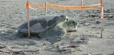 A nesting green turtle return to the ocean in the morning.
