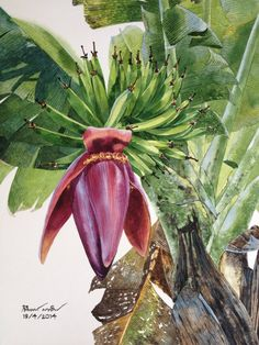 Watercolor Projects, Watercolor Landscape, Watercolor And Ink, Watercolor Paintings, Botanical Drawings, Botanical Illustration, Botanical Flowers, Botanical Prints, Banana Flower