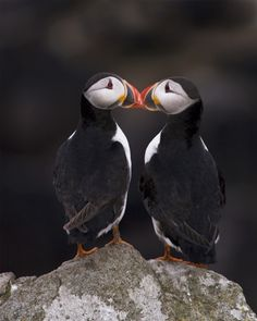 Puffins-love-on-the-rocks♥