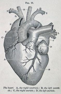 corazón de enciclopedia