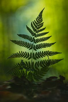 In the forest: fern one of the oldest plants on earth. Green Nature, Green Trees, Macro Photography, Forest Photography, Shade Garden, Shades Of Green, Land Scape, Mother Nature, Plant Leaves
