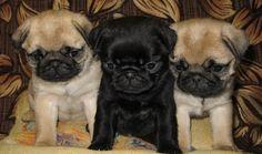 Cute Black & Fawn Pug Puppies