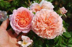 'Oshun' Rose Photo