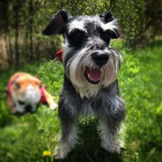 Maybe you've just adopted a Schnauzer into your family and don't know what to call them yet. If you're looking for the best name for a Schnauzer dog, you've come to the right place! Here are 30 of the best sweet names for Schnauzer dogs! Best Dog Names, Best Dogs, Dog Pictures, Animal Pictures, Schnauzer Dogs, Schnauzers, Animals And Pets, Cute Animals, Overweight Dog