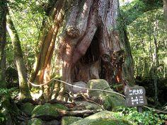 Japan Yakushima Island Trees