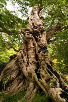The poetry of the earth is never dead. ~ John Keats, (image: Kyoju of the Gods, Ancient Japanese Tree). Inochinushiyashiro no Mukunoki (Muku Tree). Sacred Tree near Izumo Taisha. All Nature, Nature Tree, Amazing Nature, Weird Trees, Shimane, Japanese Tree, Unique Trees, Old Trees, Tree Trunks