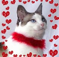 dreaming of the splendid red rose bouquet she will receive for valentines - Cat Valentines Day