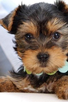 Cute, Yorkshire Terrier, Dog, Animal