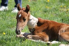 Health Problems for Newborn Foals - TheHorse.com | Tiny foals can have big health problems. Learn about four common medical issues newborn foals face. #foals #horsehealth