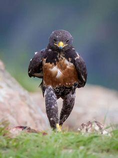 Mira porque la foro de este halcón se hizo tan famosa en la Internet
