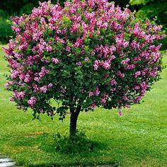 French Lilac Bush Seeds (Syringa vulgaris) 20 + Samen - Another! Dwarf Korean Lilac Tree, Dwarf Lilac Tree, Japanese Red Maple Tree, Dwarf Trees, Dwarf Flowering Trees, Trees For Front Yard, Syringa Vulgaris, French Lilac, Grands Pots