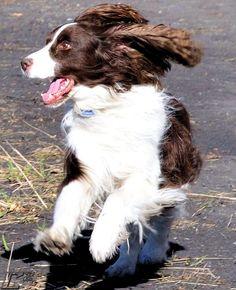 The boy loves to run... English Springer Spaniel Cholmondeley