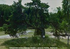 Famous tree in Hargla Estonia