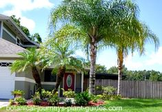 Pygmy Palm Landscape Ideas | ... instructions for Mexican Fan Palm Trees here and Pygmy Date Palms here
