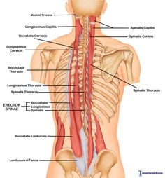 Upper Back and Neck Muscles | The Erector Spinae Muscles work together to keep the spine erect as ...