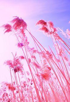 Fluffy Color Pink Beach Grass by Pink Sherbert Photography