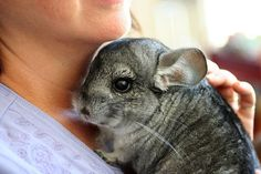 The average life span for a chinchilla is a whopping 10-12 years. Very long for a rodent though some can even live up to 20 years.
