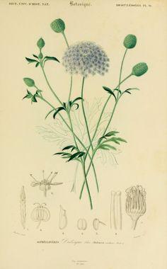 img/dessins couleur fleurs/dessin botanique de fleur 0173 didisque bleu - didiscus coeruleus.jpg