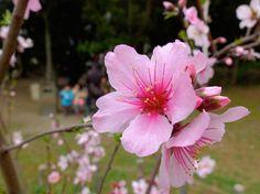 Almond flowers by Tsuguharu Hosoya on 500px.