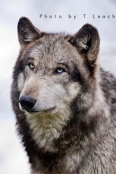 .The Beauty and the spirit of the wolves..................
