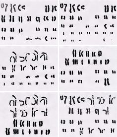 Karyotypes (Chromosomes of rat, dog, human, frog) by Asle Hirsute, via Flickr