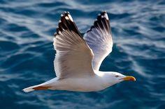 Seagull; Jonathan Livingston :-)