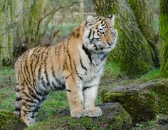 Amur Tiger | by nicknack68