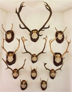 antler mounts on dark plaques, on a white wall. nice contrast and effect.