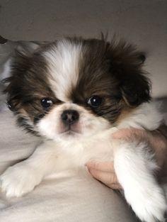 Litter of 4 Japanese Chin puppies for sale in SALEM, OR. ADN-58572 on PuppyFinder.com Gender: Female. Age: 9 Weeks Old