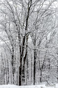 The forest is a winter wonderland after a snow storm coats the trees' branches with thick layers of snow.