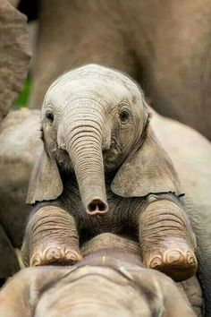 Baby Elephant - love the heart nose! Cute Creatures, Beautiful Creatures, Animals Beautiful, Cute Baby Animals, Animals And Pets, Funny Animals, Wild Animals, Elephant Love, Baby Elephants