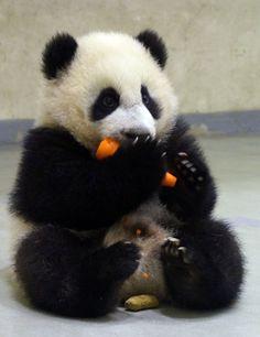 Panda eating a carrot (daaw). Yuan Zai.