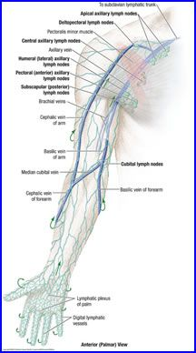 Anatomy of the Nerves, Arteries and Veins of the Arm (Upper ...