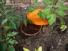 Clay Pot Irrigation - a simple adaptation of an ancient technique [Tomatoes surround an olla in Maddy's greenhouse]