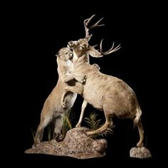 Hearted Souls - Cougar and Deer taxidermy mount by Major Wildlife #headsofstate #taxidermy