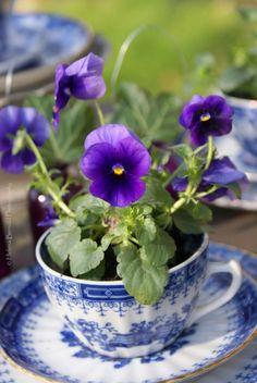 Purple pansies in a vintage blue & white teacup #plants #flowers