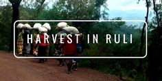 After a worryingly dry season, the harvest season is in full swing. Catch up on the latest pictures from Rwanda!