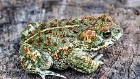 Ropucha krátkonohá (Bufo calamita) Saint Yves, Animals, Toad, Cod, Animais, Animales, Animaux, Animal, Dieren