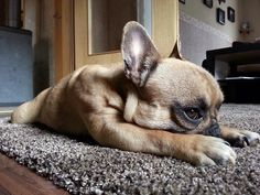 French Bulldog Puppy, I want, now!