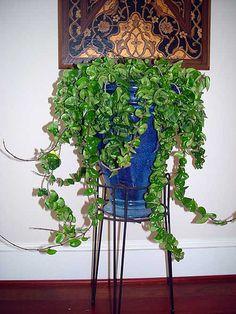 Rope Plant Hoya Carnosa