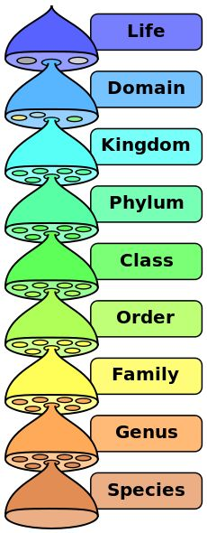 The hierarchy of biological classification's eight major taxonomic ranks.